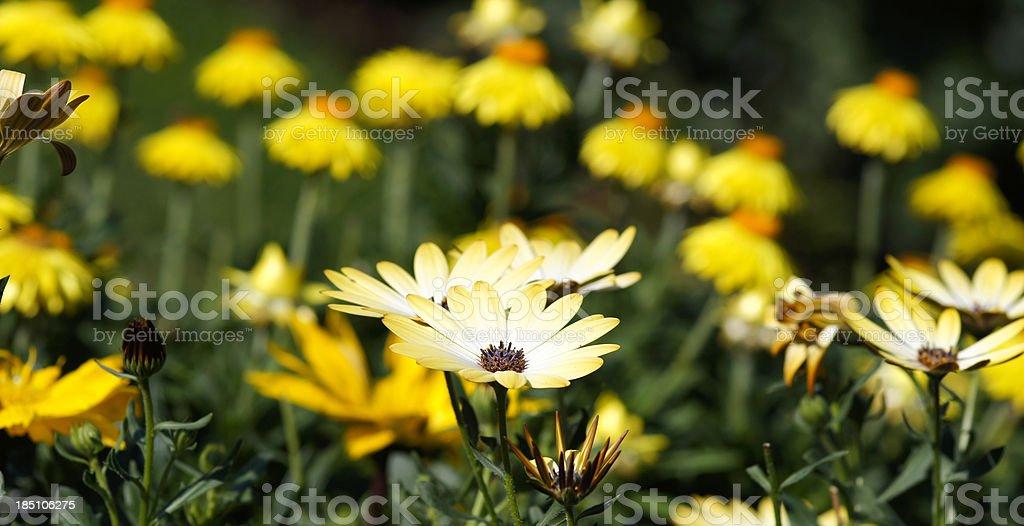 Yellow summerflowers stock photo