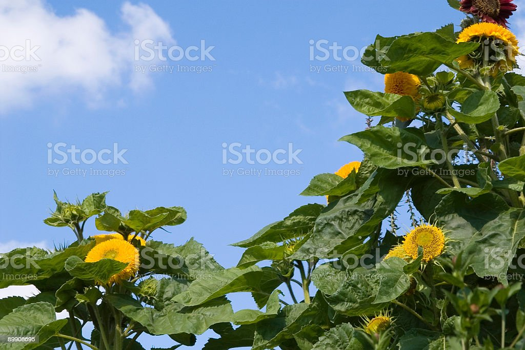 黄色サンフラワー、ブルースカイ ロイヤリティフリーストックフォト