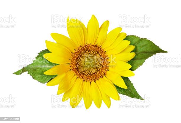 Photo of Yellow sunflower and green leaves