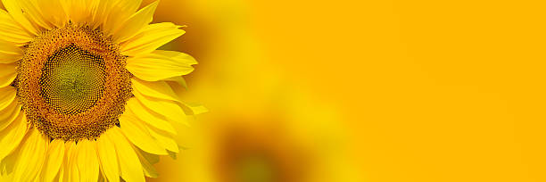Royalty free sunflower pictures images and stock photos istock yellow sunflower background stock photo mightylinksfo Choice Image