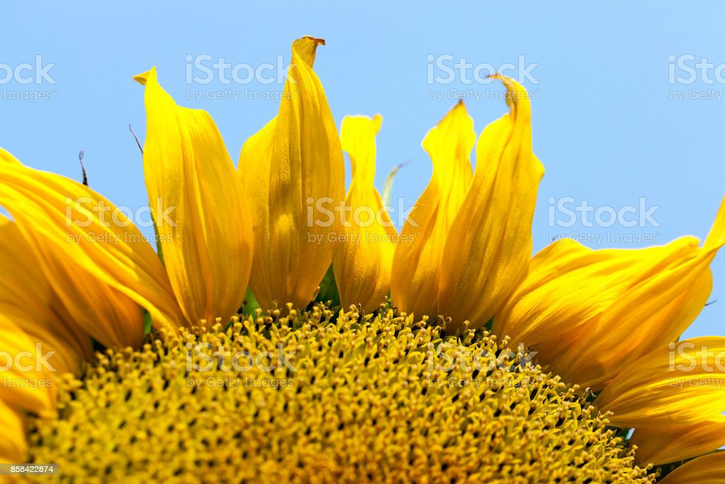 Yellow sunflower, close-up stock photo