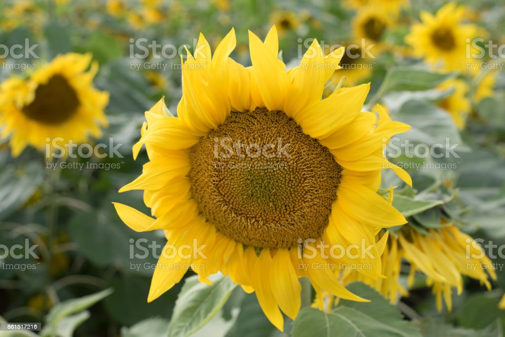 Yellow sunflower flowers stock photo