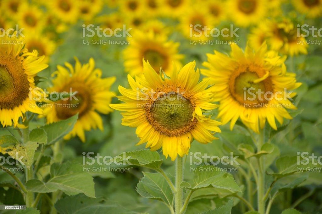 gul solros i natur trädgård - Royaltyfri Blomkorg - Blomdel Bildbanksbilder