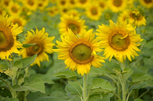 Gul Solros I Natur Trädgård-foton och fler bilder på Blomkorg - Blomdel