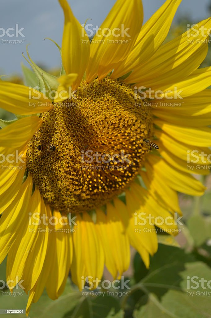 Yellow sunflower in the field stock photo