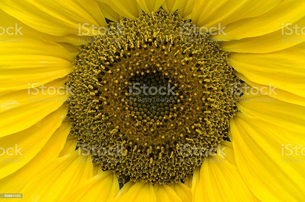 Amarillo girasol interior foto de stock libre de derechos