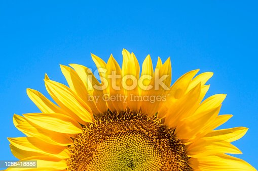 yellow sunflower on a blue sky