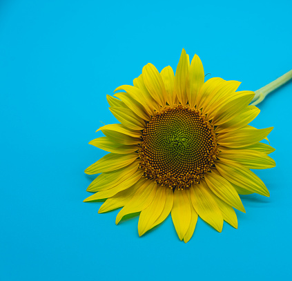 yellow sunflower on plain light blue background