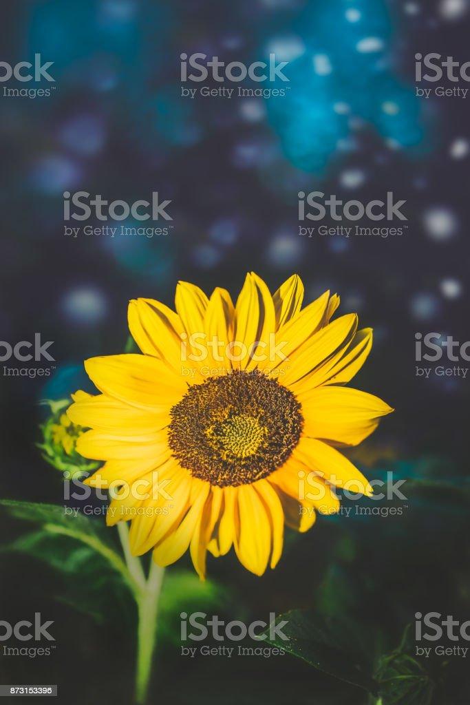 Yellow sunflower photographed at night stock photo