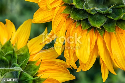 A close-up of one young bright yellow sunflower in a warm sunny day, the background is blurred