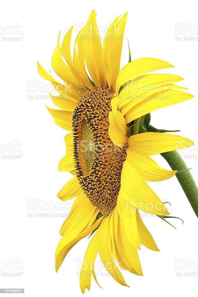 Yellow Sunflower royalty-free stock photo