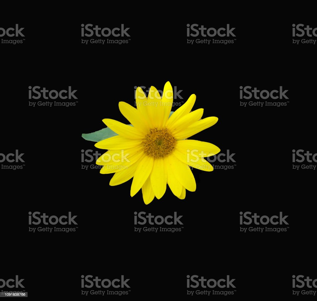 Yellow sunflower set against a black background stock photo