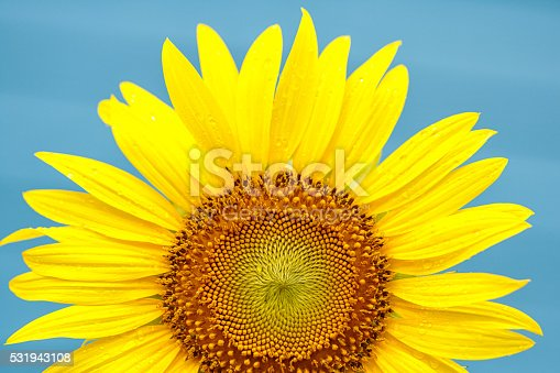 Yellow sunflower with dew drop on blue sky