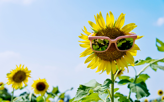 952436894 istock photo Yellow sunflower with sunglasses in the field 1007633288