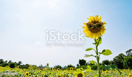 952436894istockphoto Yellow sunflower with sunglasses in the field 1007633642