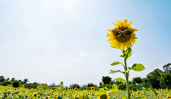 952436894 istock photo Yellow sunflower with sunglasses in the field 1007633642