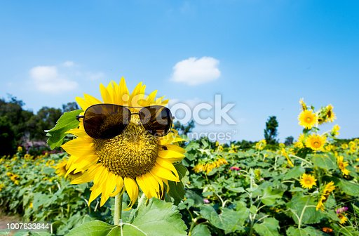 952436894istockphoto Yellow sunflower with sunglasses in the field 1007633644