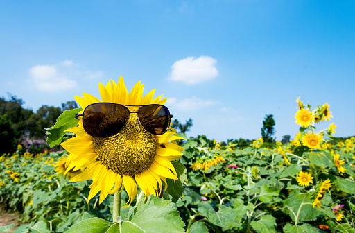 952436894 istock photo Yellow sunflower with sunglasses in the field 1007633644