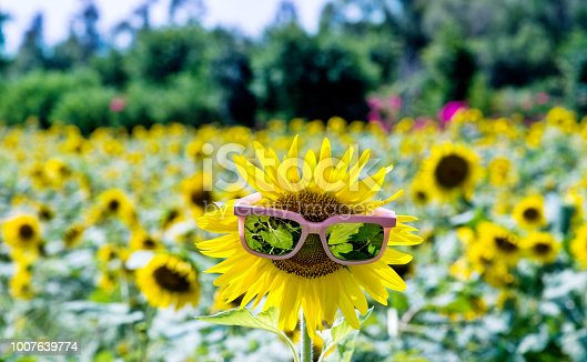 952436894istockphoto Yellow sunflower with sunglasses in the field 1007639774