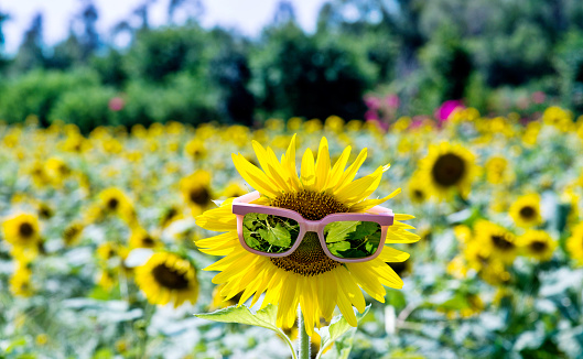 952436894 istock photo Yellow sunflower with sunglasses in the field 1007639774