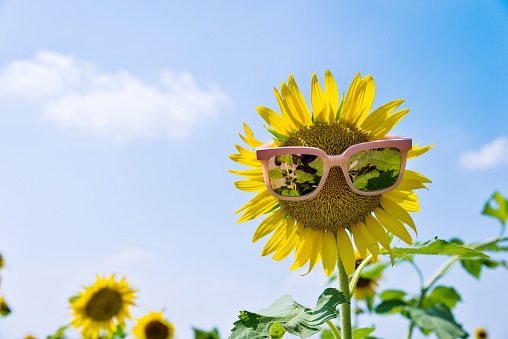952436894 istock photo Yellow sunflower with sunglasses in the field 1129053154