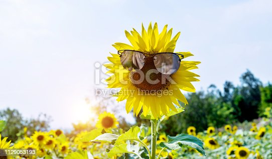 952436894istockphoto Yellow sunflower with sunglasses in the field 1129053193