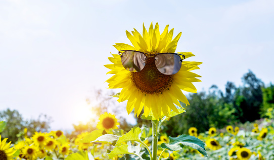 952436894 istock photo Yellow sunflower with sunglasses in the field 1129053193