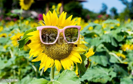 952436894istockphoto Yellow sunflower with sunglasses in the field 1129053196