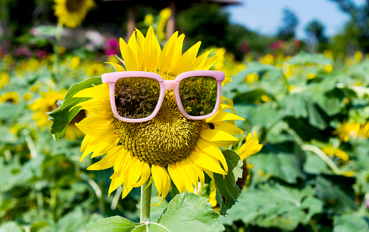952436894 istock photo Yellow sunflower with sunglasses in the field 1129053196