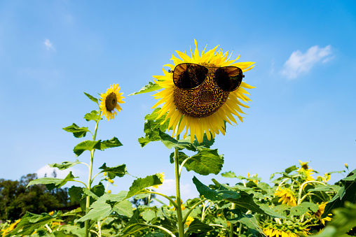 952436894 istock photo Yellow sunflower with sunglasses in the field 1129053229