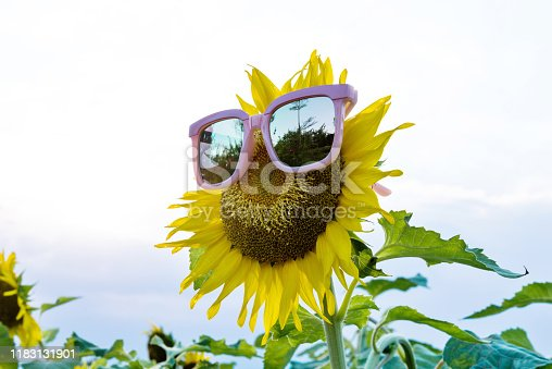952436894istockphoto Yellow sunflower with sunglasses in the field 1183131901