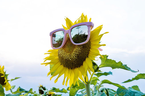 952436894 istock photo Yellow sunflower with sunglasses in the field 1183131901