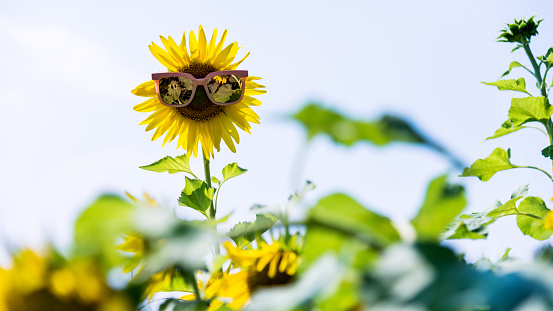 952436894 istock photo Yellow sunflower with sunglasses in the field 1183134291