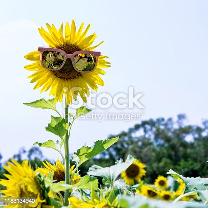 952436894istockphoto Yellow sunflower with sunglasses in the field 1183134940