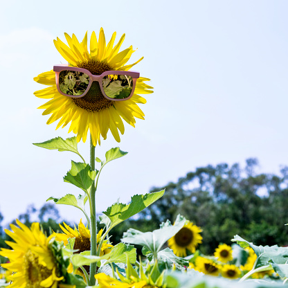 952436894 istock photo Yellow sunflower with sunglasses in the field 1183134940