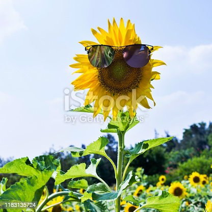 952436894istockphoto Yellow sunflower with sunglasses in the field 1183135724