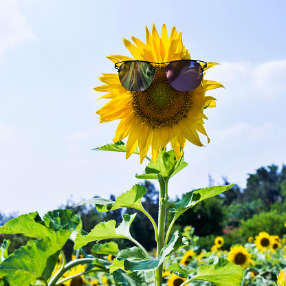 952436894 istock photo Yellow sunflower with sunglasses in the field 1183135724