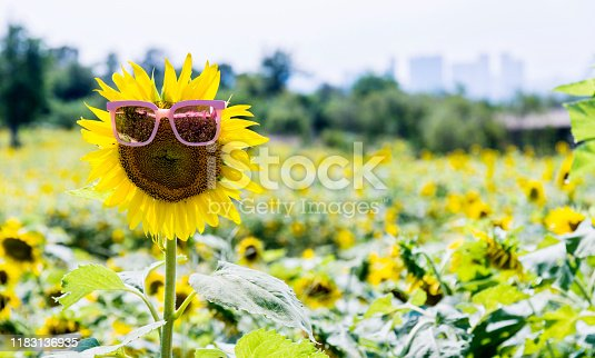 952436894istockphoto Yellow sunflower with sunglasses in the field 1183136935