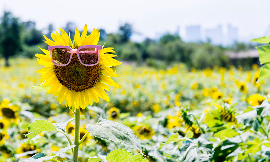 952436894 istock photo Yellow sunflower with sunglasses in the field 1183136935