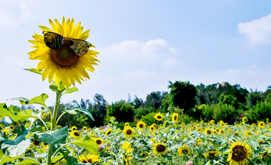 952436894 istock photo Yellow sunflower with sunglasses in the field 1183137931