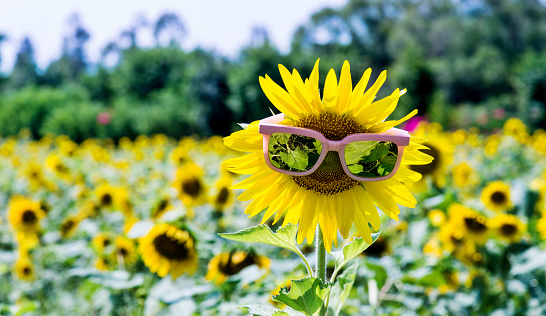 952436894 istock photo Yellow sunflower with sunglasses in the field 1218518059