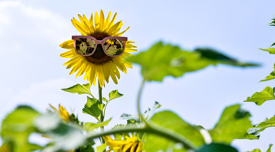 952436894 istock photo Yellow sunflower with sunglasses in the field 1218518084