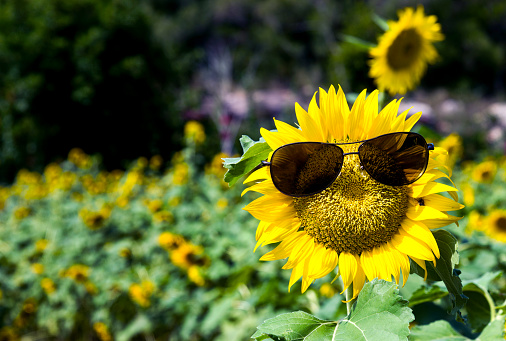 952436894 istock photo Yellow sunflower with sunglasses in the field 1218518315