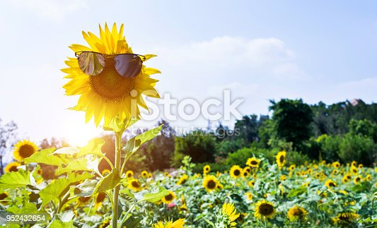 952436894istockphoto Yellow sunflower with sunglasses in the field 952432654