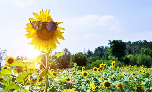 952436894 istock photo Yellow sunflower with sunglasses in the field 952432654