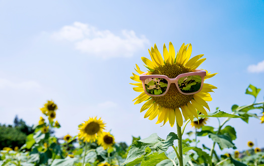 952436894 istock photo Yellow sunflower with sunglasses in the field 952432660