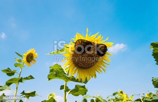 952436894istockphoto Yellow sunflower with sunglasses in the field 952433824