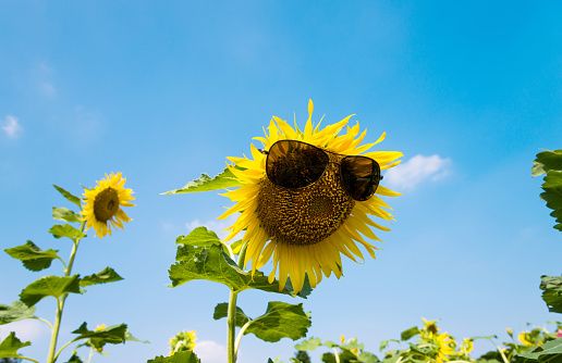 952436894 istock photo Yellow sunflower with sunglasses in the field 952433824
