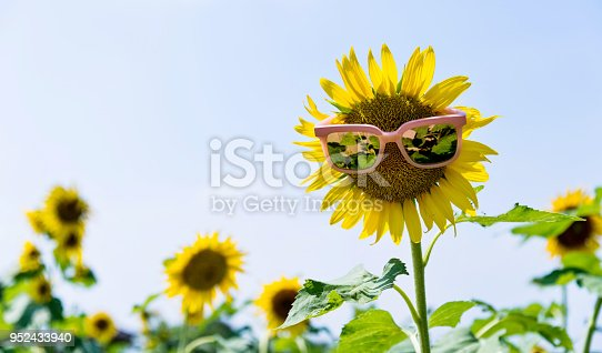 952436894istockphoto Yellow sunflower with sunglasses in the field 952433940