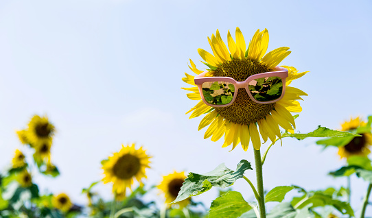 952436894 istock photo Yellow sunflower with sunglasses in the field 952433940